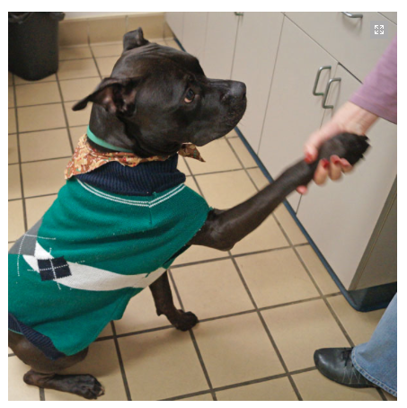 Tank, at the Monmouth County SPCA, lends a hand and needs a home. Photo/MCSPCA website screenshot
