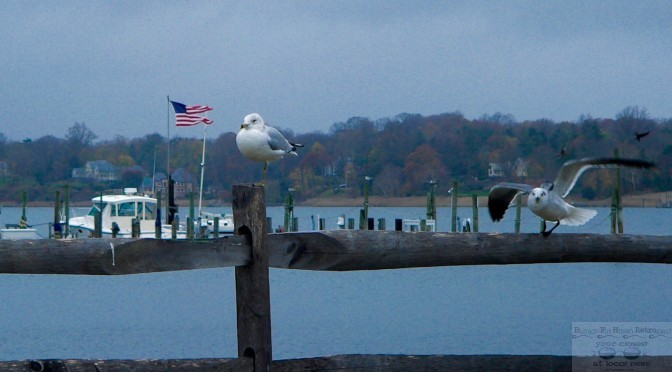 Focus: Rumson Gulls on the River